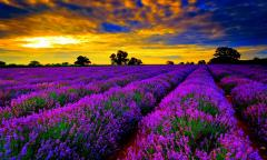 lavender flower fields wallpapers